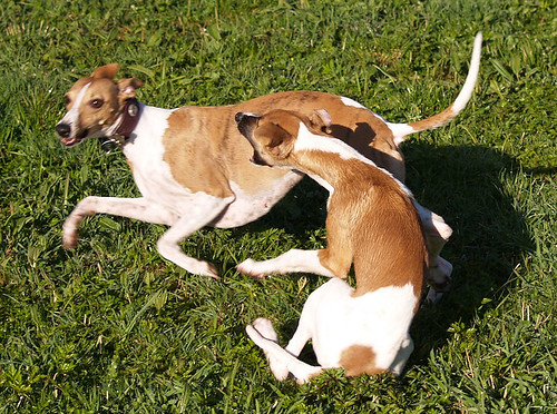 Whippets: mother & son