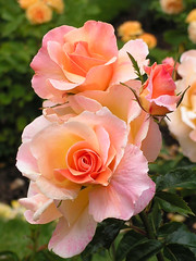 Roses (justavessel) Tags: pink flowers roses yellow gardens excellence flowerscolors flowerotica fantasticflower thepoweroftheflower wonderfulworldofflowers qualitypixels theenchantedcarousel flickrfloresemacros