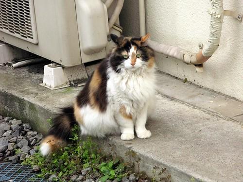 近所の猫さんA