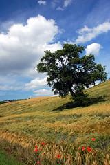 Lesignano (Sillar) Tags: sky tree primavera clouds nuvole wheat cielo poppies albero springtime papaveri grano polarizingfilter filtropolarizzatore propriononcapiscochecoshannoquestialberichemicostringeafotografarli ireallydontknowwhatitisabouttreesthatforcesmetokeepshootingthem
