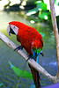 red parrot (tunachilli) Tags: red bali birds digital canon indonesia eos rebel colours parrot usm 2008 animalplanet xsi balibirdpark burung potofgold kakaktua 450d tamanburung