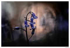 Dans la foret mystérieuse ... (jeremie.brion) Tags: fleur nature proxy macro contrejour forêt