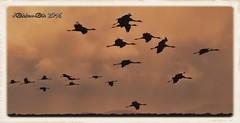 GRULLA COMUN (Grus grus) (JORGE AMAYA BUSTAMANTE - JAKKEMATE) Tags: grulla comun common crane grus gallocanta teruel españa spain laguna jorge amaya bustamante jakkemate