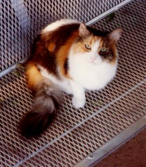 Patches, getting some air (Hairlover) Tags: pet cats pets public cat kitten kitty kittens kitties hairlover allcatsnopeople