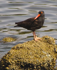 Oyster Catcher, Too