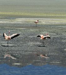 Ms Parinas Chicas (Lagavulin2) Tags: primavera southamerica flamingos bolivia flamencos altiplano 2007 puna potos lagunas lagunahedionda sudamrica flaga suramrica amricadelsur canonps parinachica phoenicopterusjamesi transamericananov07 flamencodejames