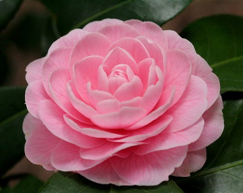 Lovely pink camellia