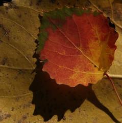 blaadje (nikjanssen) Tags: leaf gtaggroup herfstautumnnaturecloseupredrood