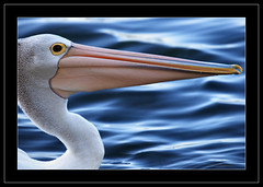 It's all about the Bill (Barbara J H) Tags: bird nature birds fauna quality wildlife australia pelican qld australianbirds australianwildlife australianpelican maroochydore australiannativebird pelecanusconspicillatus birdsofaustralia australianfauna animaladdiction birdphotos widlifeofaustralia barbarajh auselite faunaofaustralia