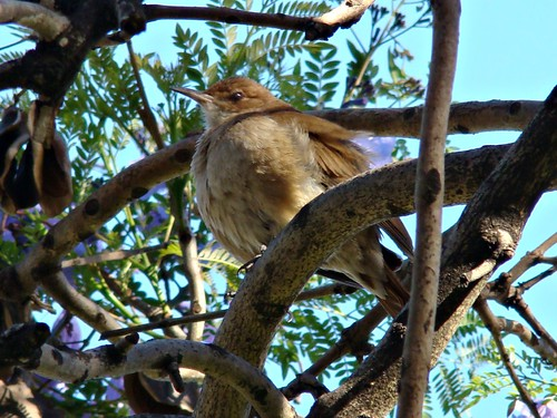 Pájaro en el jacarandá