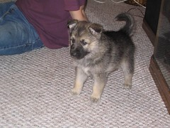 Ariel Arctic wolf /alaskan malamute / german shepherd mix (ilovemycamera) Tags: dog animal puppy mix wolf picture arctic malamute germanshepherd alaskan wolfhybrid puppie wolfdog arcticwolf