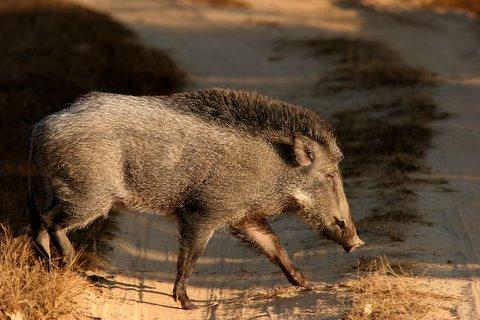 wild boar 2212
