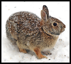 Snow Bunny (nature55) Tags: winter snow rabbit bunny nature outdoors wildlife snowbunny naturesfinest nature55 frhwofavs theunforgettablepictures brillianteyejewel heunforgettablepictures