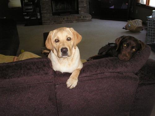labradors - Murphy & Porter