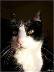 Luz . Light (selenis) Tags: pet animal cat feline retrato gato felino golddragon bestofcats goldstaraward