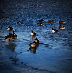 Photoshopped Canadian Geese (Jesse James Photography) Tags: ice birds photoshop nikon lakeerie wildlife ducks canadiangeese 80200 d80