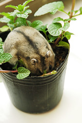04. Haha all are mine (EricFlickr) Tags: pet cute animal mint taiwan hamster herb hammy