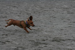 Scooter the flying dachshund !