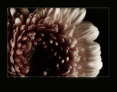 Personal (Kirsten M Lentoft) Tags: light flower gerbera hugs tight bec soe flowerotica passionphotography fineartphotos platinumphoto momse2600 infinestyle megashot excellentphotographerawards macromarvels macroflowerlovers goodnightdearest mmuahhh mmmmmmmuahhhhhhhh kirstenmlentoft