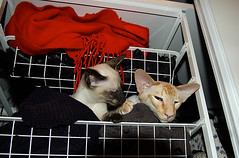 Cleaning up my closet (af_foto) Tags: cats siamese opus lalaith