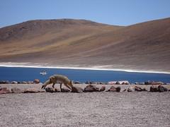 El zorro y la gaviota (Matiphotonoob) Tags: chile summer fauna verano desierto 2008 vacations gaviota vacaciones zorro sanpedro norte sanpedrodeatacama andina