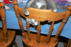Socks attacking a chair