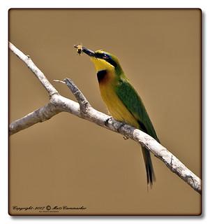 Little Bee-eater (Merops pusillus) Dvärgbiätare