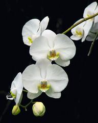 Elegant in White (melepix) Tags: white orchid flower garden orchids florida aos flowerotica colorphotoaward superbmasterpiece infinestyle megashot citrit brillianteyejewel phalaenopisamabilis round30mims mlcontest