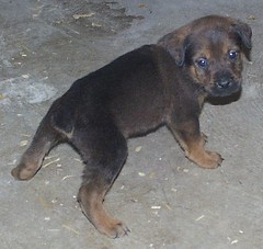 Brown/Tan Mastweiler Male (muslovedogs) Tags: dogs tank lacey mastweiler