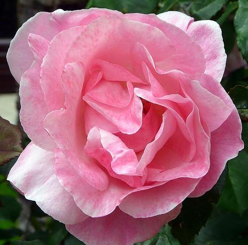 Donner c'est la seule façon d'AIMER alors je vous donne à tous cette rose !