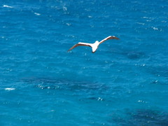Masked Booby (sbittinger) Tags: lordhoweisland