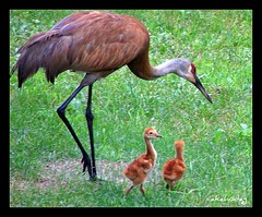 There's Good Food Right Here (akahodag) Tags: birds babies crane sandhill sandhillcrane impressedbeauty betterthangood sandhillcranebabies