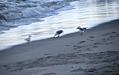 2017 Sydney: Botany Bay #13 (dominotic) Tags: sydney nsw australia newsouthwales 2017 seagull seabirds botanybay water beach brightonlesands ladyrobinsonsbeach