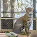 Jaguar Gamboa Wildlife Rescue pandemonio 2017 - 05