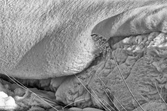 Snow Structure 5, Curve (Alfred Grupstra) Tags: bw blackandwhite curve snow wervershoof noordholland nederland nl nature backgrounds closeup outdoors nopeople dry abstract white textured