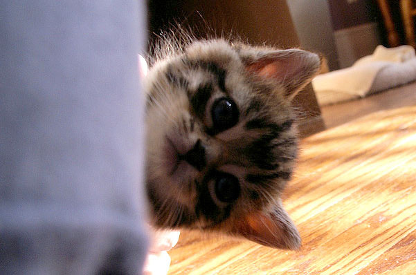 cute rescue tabby kitten peeking