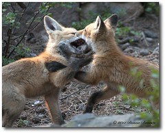 Fox Interactions.....Kit to Kit (Tundra Winds Images by Donna) Tags: colorado play wildlife kits greetings babysitter sire vixen redfox interations wildcanids