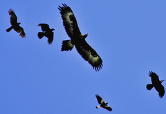 Wedgie,crows & a maggie dog fighting (friar tucker) Tags: birdofprey wedgetailedeagle dogfighting aquilaaudax rustycages onlyyourbestshots