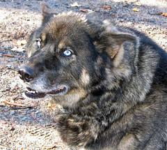 Poacher--Wolf-Dog (akahodag) Tags: dog wolf tame poacher supershot mywinners abigfave anawesomeshot diamondclassphotographer flickrdiamondphotographer