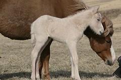 Vor (Frigeir Gumundsson) Tags: horse 20d canon iceland canon20d sland sland hestar beautyisintheeyeofthebeholder slenskirhestar frigeir