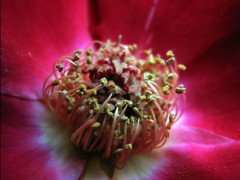 (susan *tt*) Tags: flower rose canon canonpowershots3is