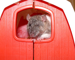 They Call Me Winky... (Just In Luv) Tags: rat rats nina petrat petrats fancyrat fancyrats domesticrat domesticrats