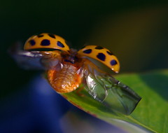 cleared for take off (dpfunsun) Tags: explore ladybug 100mm28macro mywinners pentaxk10d