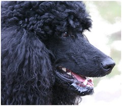 what do you think Darleen? (darleen2902) Tags: dog black poodle darleen