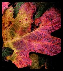Leaf. (moorepictures) Tags: autumn nature leaf breathtaking smorgasbord amazingtalent 10faves naturesgallery colorphotoaward aplusphoto ibeauty zerofaves magicofaworldinmacro naturewatcher