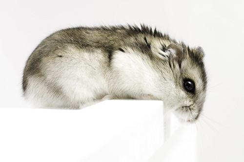 Dwarf hamster by romap.