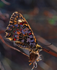 Backlighting (olaf gunderson) Tags: naturaleza insectos nature butterfly bravo wildlife explorer sigma insects olympus andalucia 105 mariposas arlequin naturesfinest salvaje espaaspain sigma105mmf28exdgmacro mlaga zerynthiarumina mywinners macromarvels owl165 olfafgunderson explorer11122007