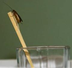 _DSC1884 (abappel4) Tags: pet roach