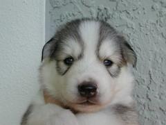 """Tank"" the mini Husky puppy (Scott Kinmartin) Tags: dog cute face puppy husky tank adorable explore siberianhusky pup kaia miniaturehusky huskimo siberianhuskypuppy"