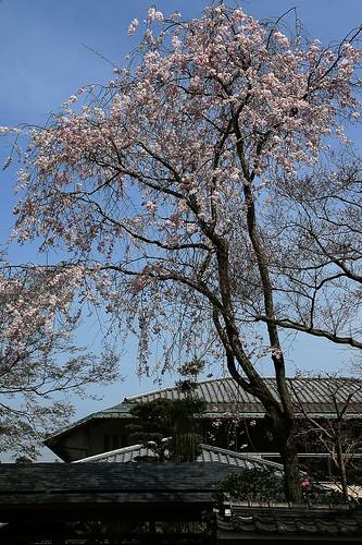 背の高い桜